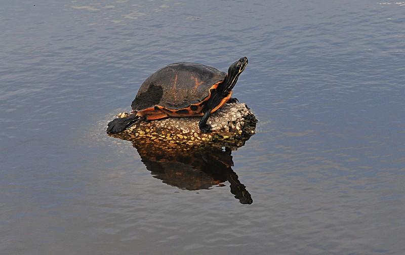 apr 17 4853 turtle