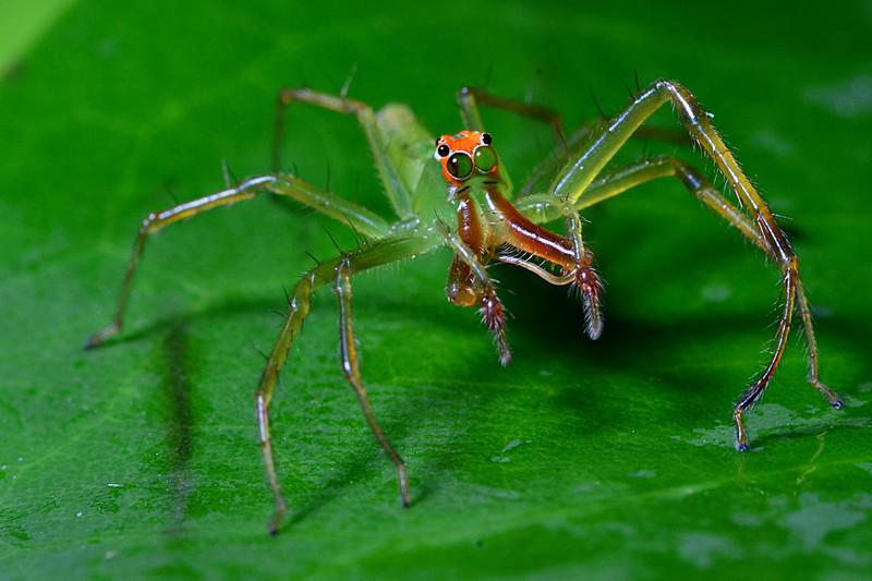 apr 17 7835 Lyssomanes viridis fang injectors