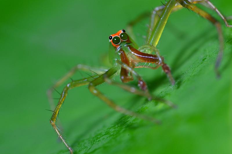 apr 17 7865 anterior male L viridis