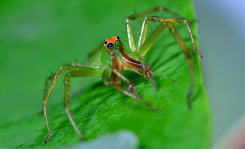 apr 17 7882 male L viridis anterior