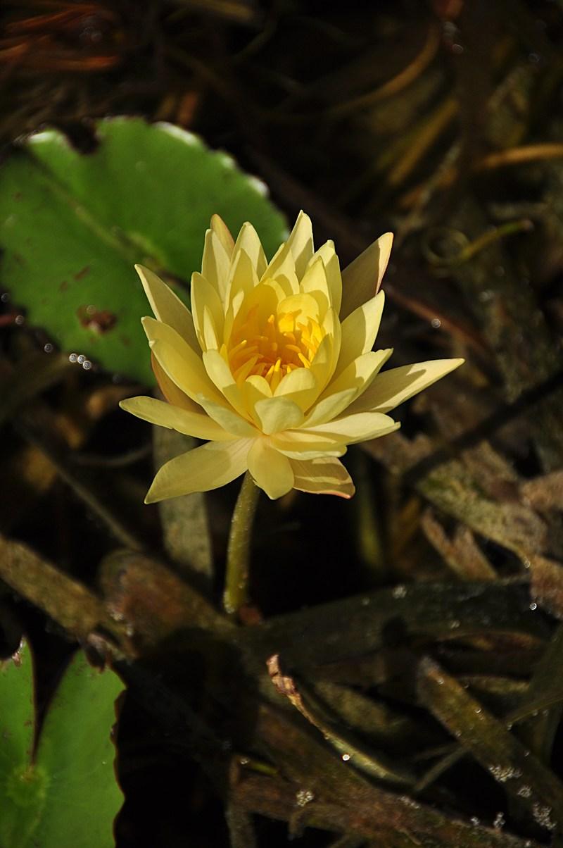 apr 18 0413 yellow lotus