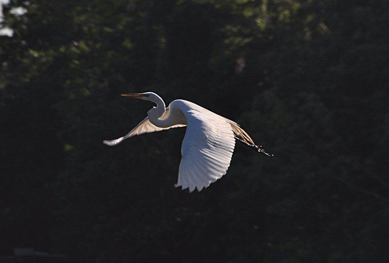 apr 18 0485 white bird flying