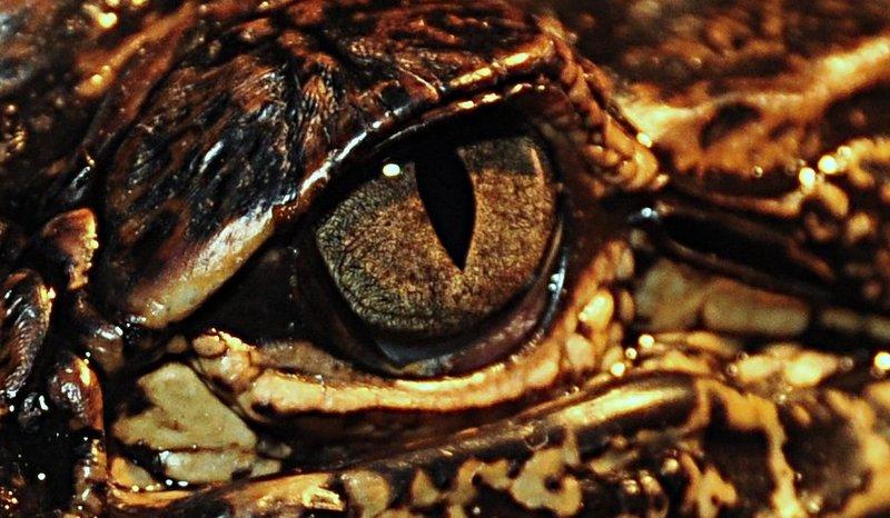 apr 18 1001 gator iris