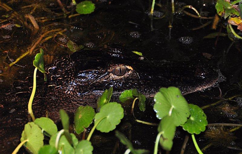 apr 18 1020 gator water eye