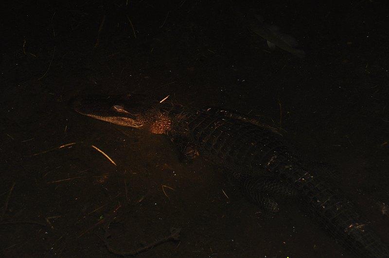 apr 18 1042 underwater gator