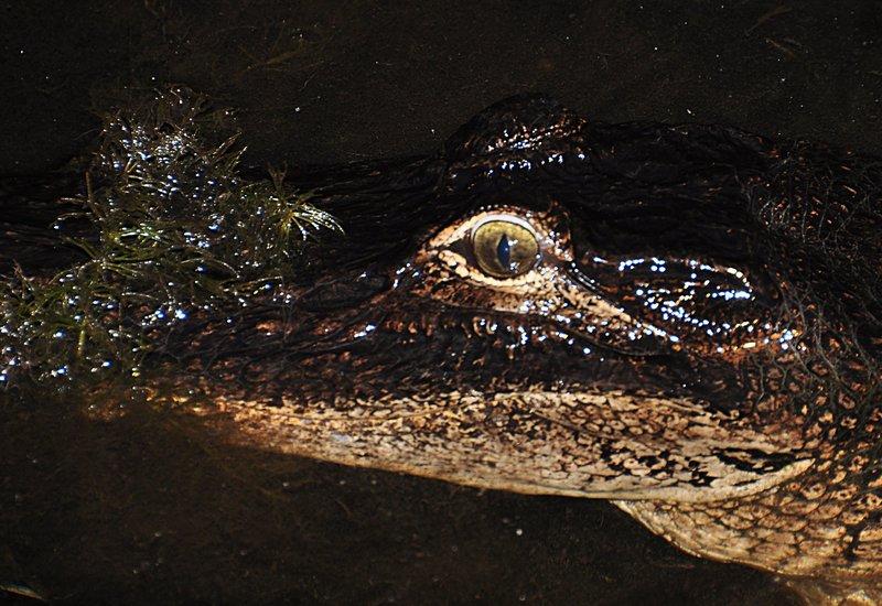 apr 18 1054 big gator