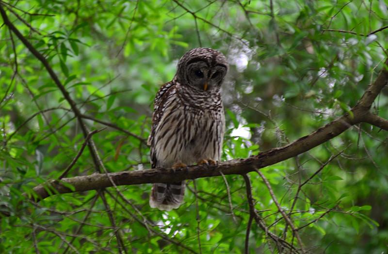 apr 18 3187 mama owl