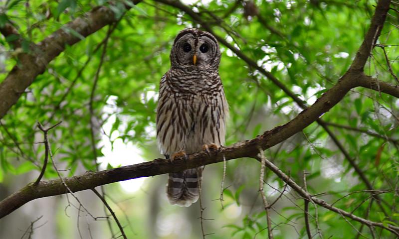 apr 18 3189 mama owl