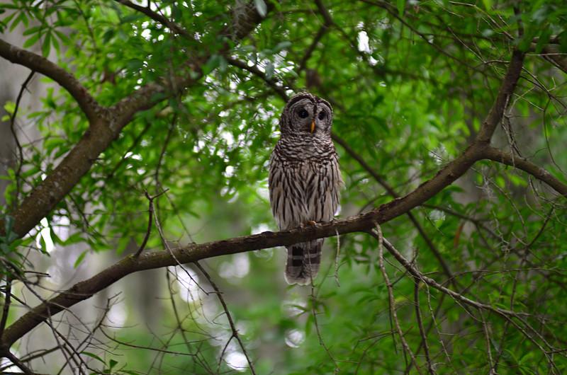 apr 18 3193 mama owl