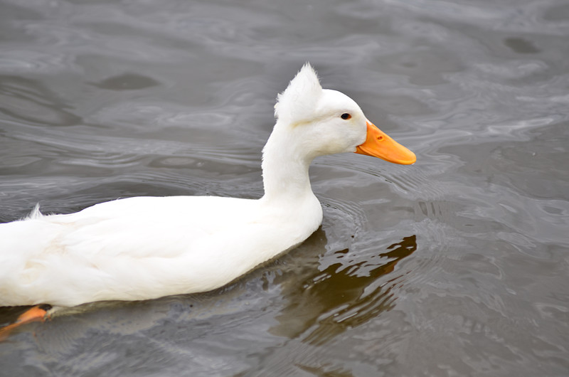 apr 18 3204 white duck