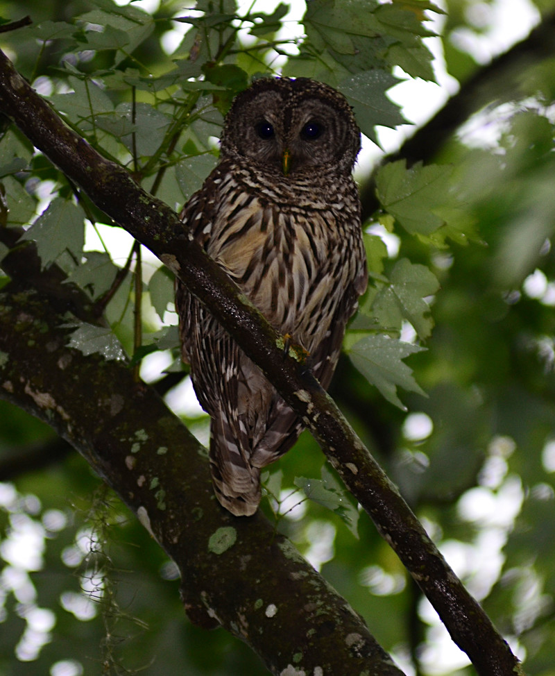 apr 18 3248 wet owl looking