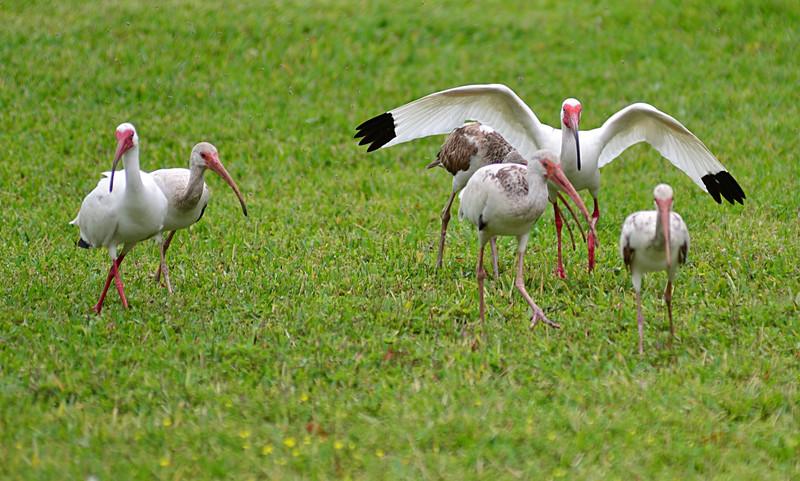 apr 19 3256 white ibis