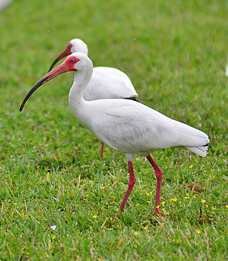 apr 19 3258 white ibis