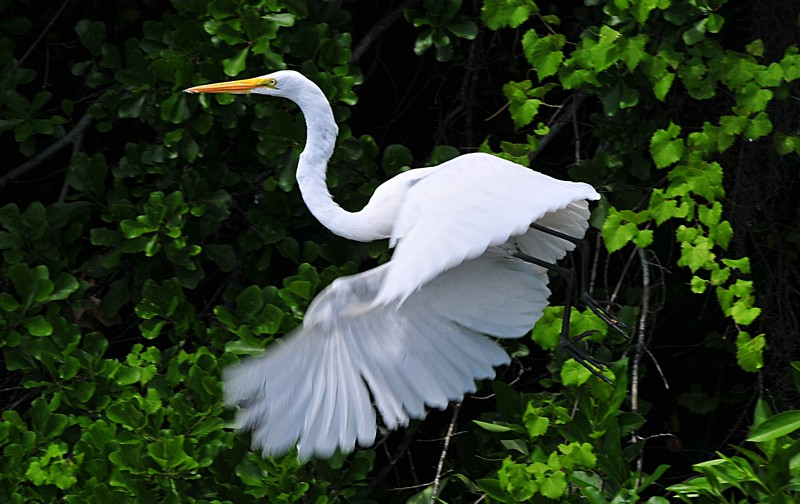 an essay on a white heron