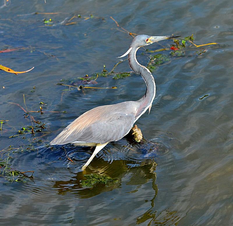 apr 20 7094 blue heron