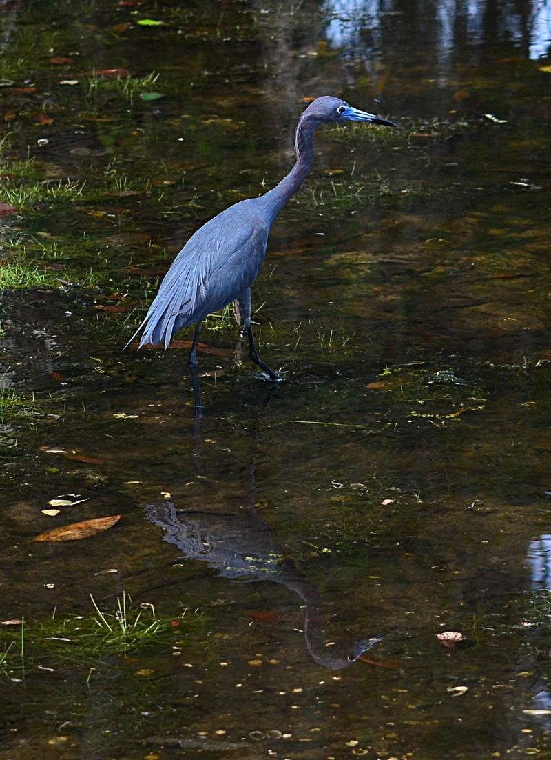 apr 20 7148 little blue heron