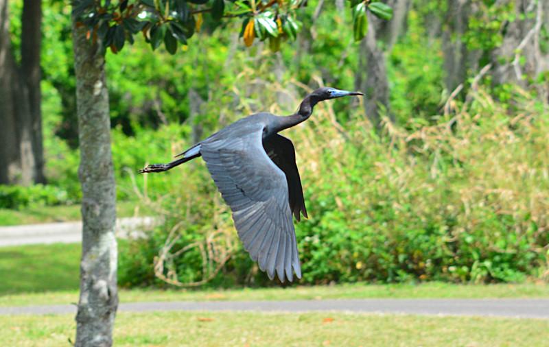 apr 20 7202 little blue heron