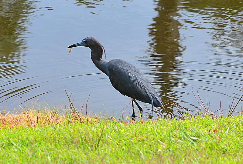 apr 20 7215 little blue heron