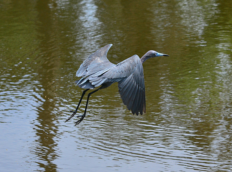 apr 20 7233 little blue heron