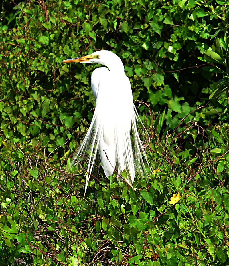 apr 20 7255 snowy egret