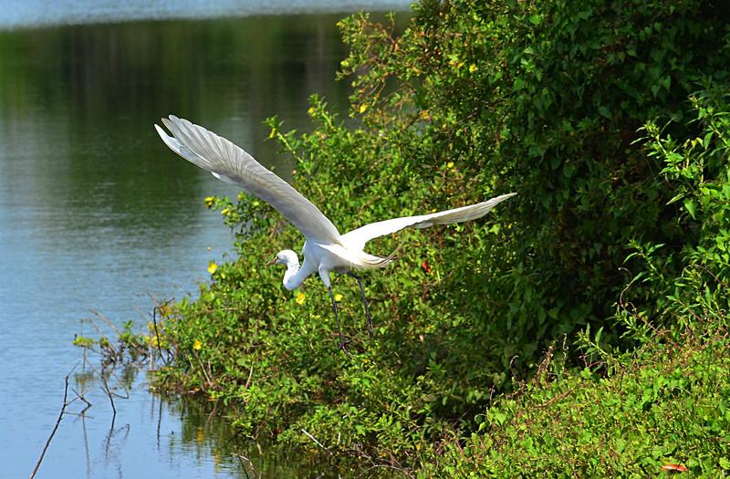 apr 20 7256 snowy egret flying