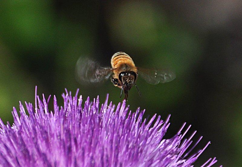 apr 21 1246 flying bee