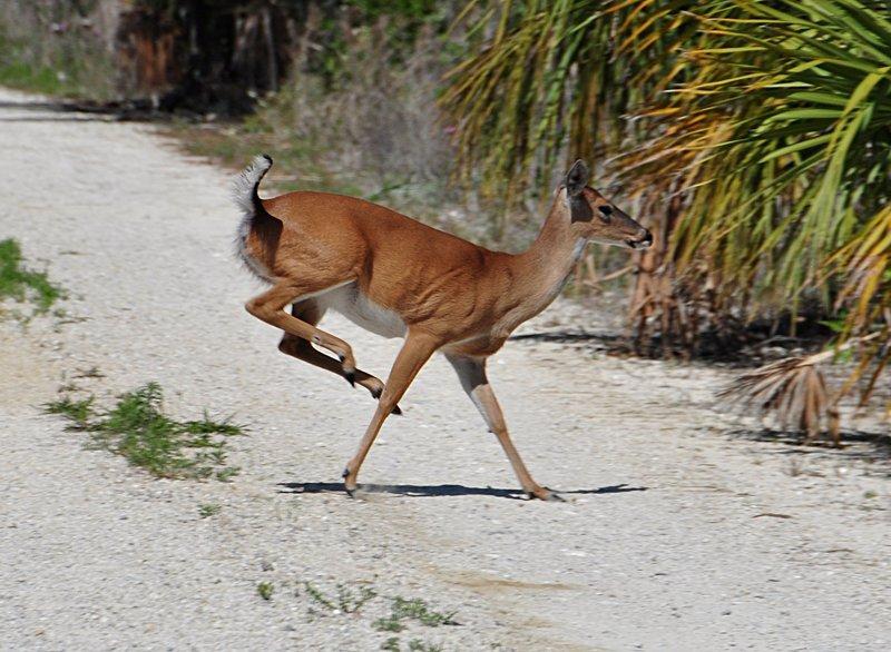 apr 21 1282 deer crossing