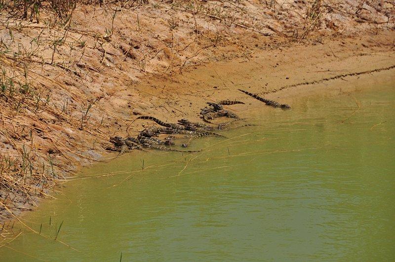 apr 21 1497 creeping grass alligators
