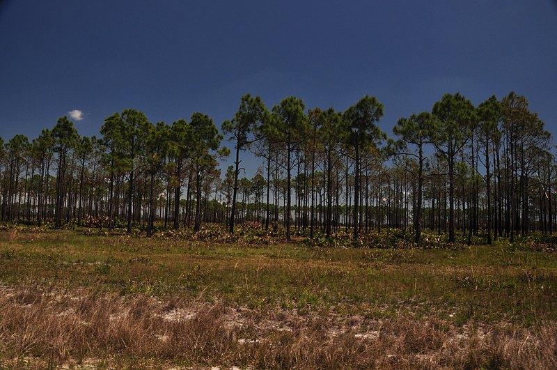 apr 21 1569 pine stand