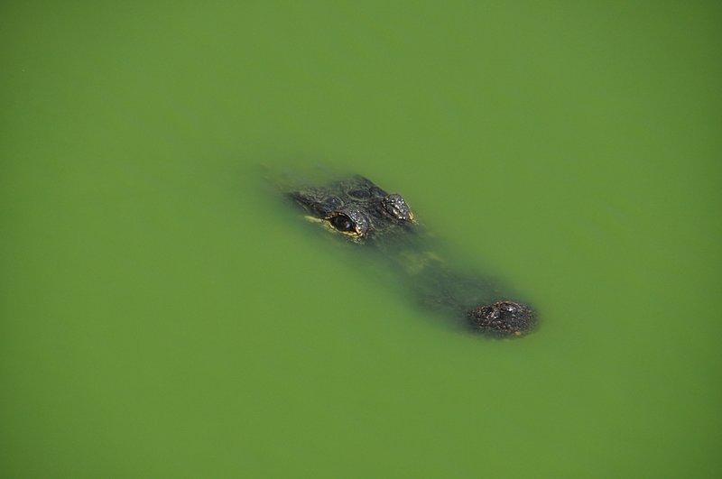 apr 21 1620 alligator eyes
