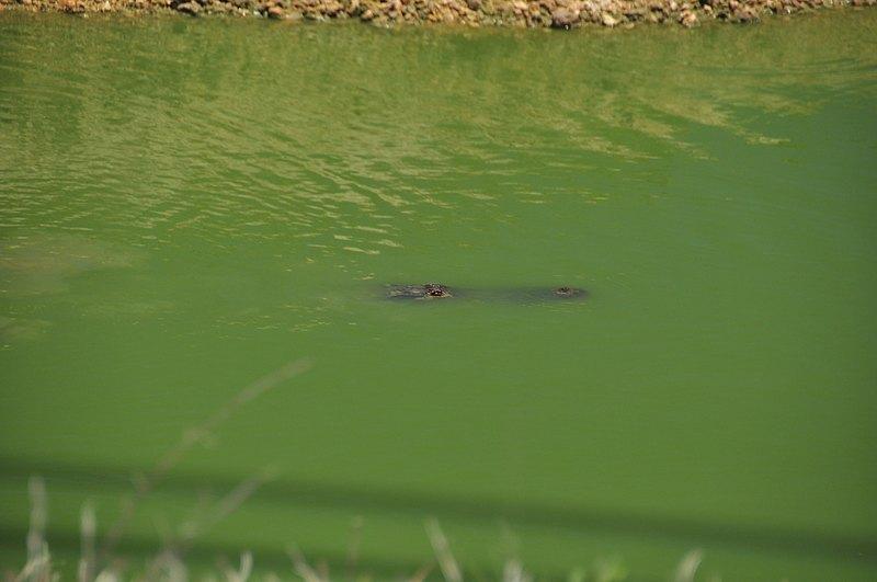 apr 21 1631 alligator swimming