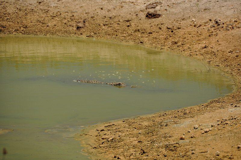 apr 21 1637 alligator resting