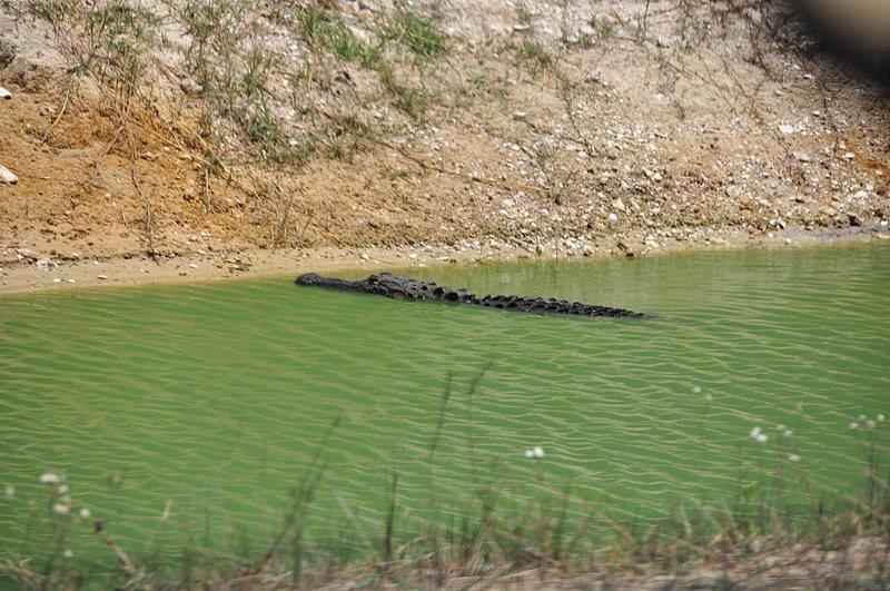 apr 21 1709 resting alligator