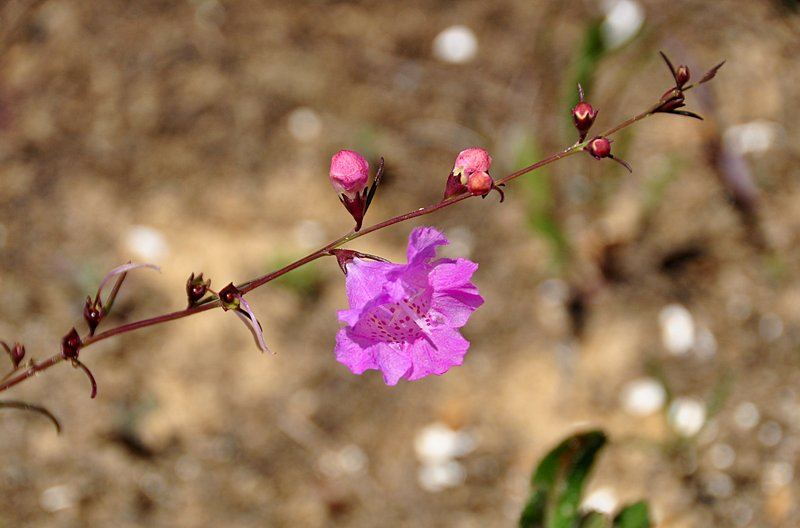 apr 21 1729 pink flower