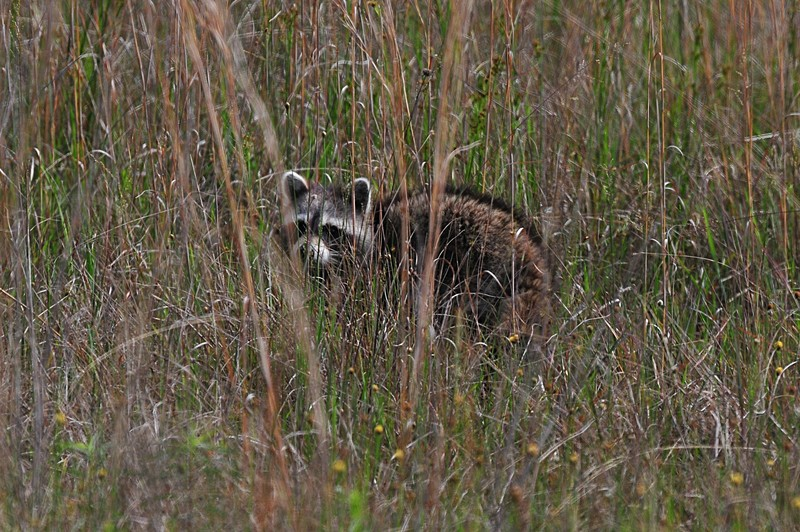 apr 21 5932 raccoon
