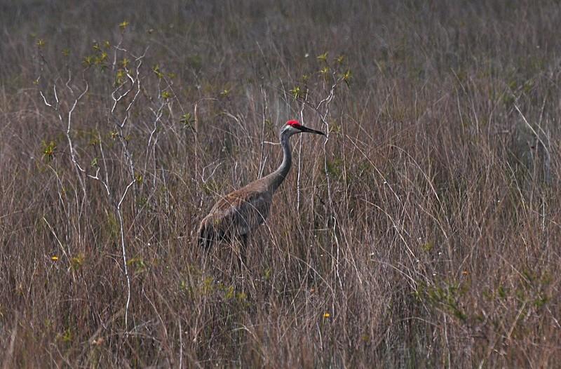apr 21 6080 sandhill crane