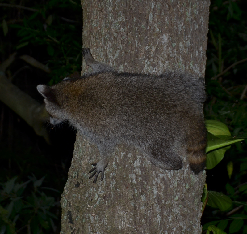apr 23 0773 raccoon tree