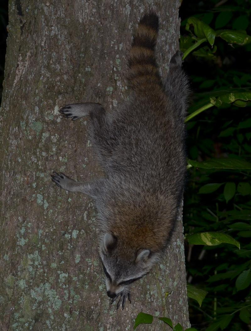 apr 23 0775 raccoon tree climbing down