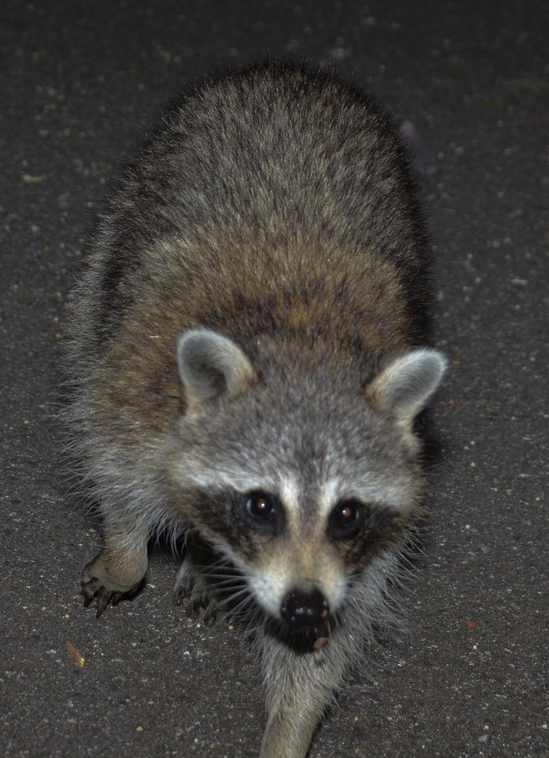 apr 23 0776 raccoon approaching