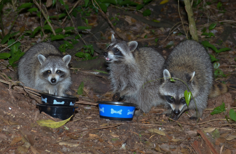 apr 23 0785 3 hungry raccoons