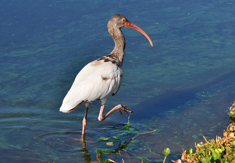 apr 23 3874 ibis algae