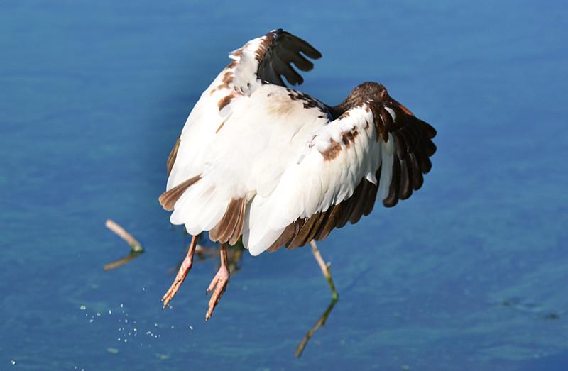 apr 23 3876 ibis flying