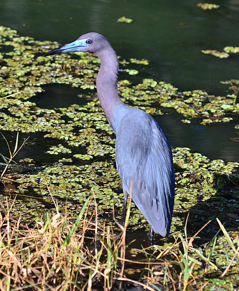 apr 23 3892 bluebill heron
