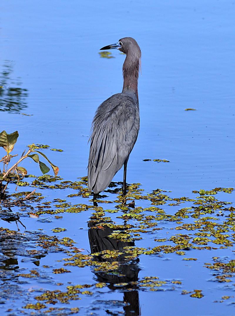 apr 23 3903 bluebill heron