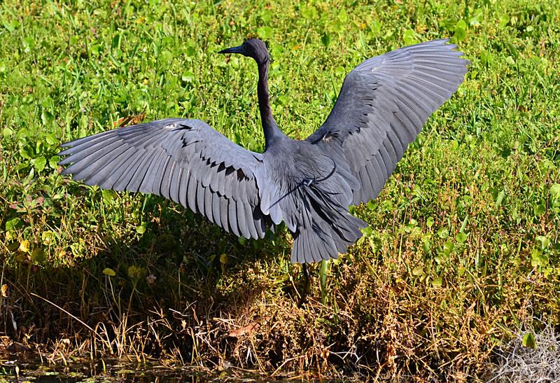 apr 23 3910 bluebill wings