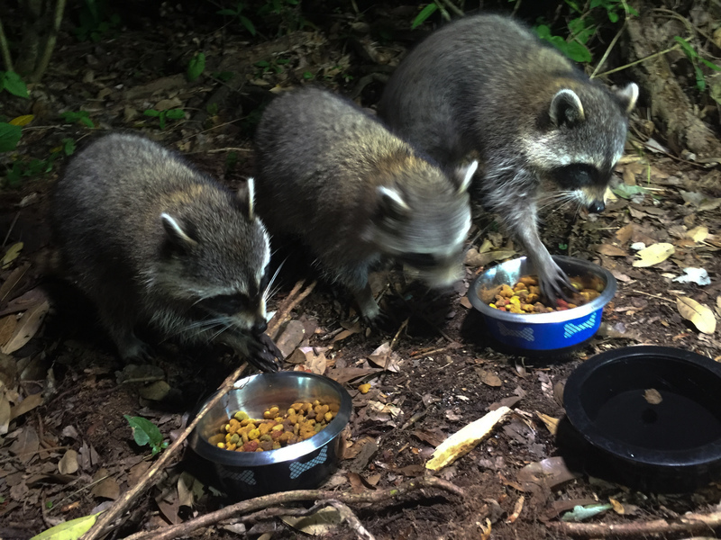 apr 23 8520 hungry raccoons