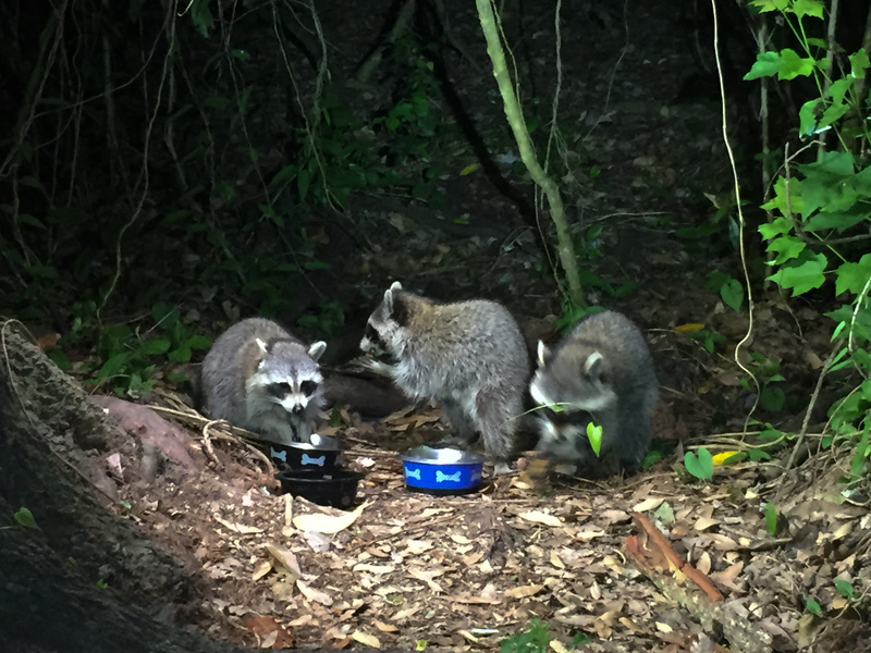 apr 23 8523 hungry raccoons