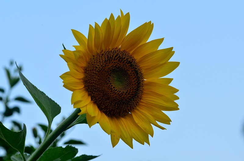 essay about the sunflower