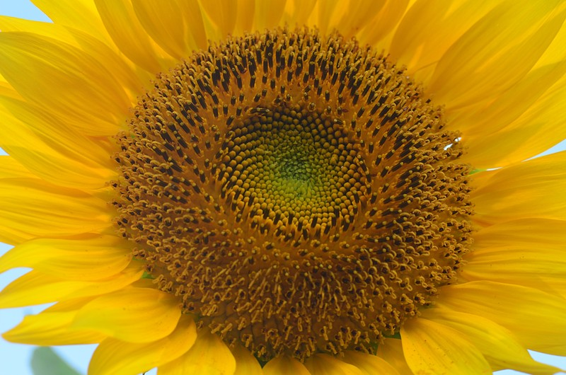 essays on the sunflower by simon wiesenthal The remainder of the book is comprised of essays by jewish, christian, and buddhist thought leaders who respond to wiesenthal's question their divergent responses further suggest that forgiveness is a pivotal, spiritual problem.