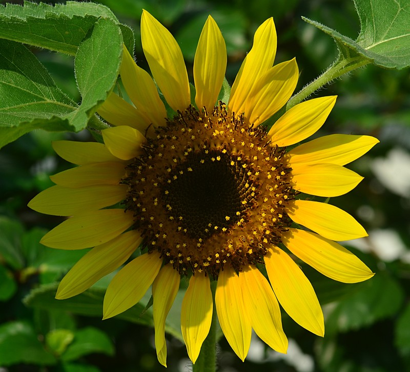analysis simon wiesenthal s sunflower 1) what does the sunflower mean to wiesenthal is there anything ironic about its symbolism for him 4) what does wiesenthal think of as he listens to the officer how does this affect his response to the officer.